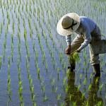 Rice – Rise : ข้าวกำลังขึ้น